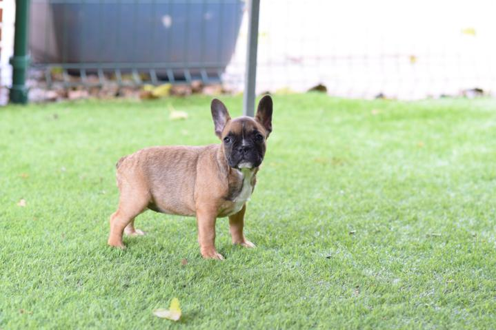 cachorrita bulldog frances hembra color sable Elena 4